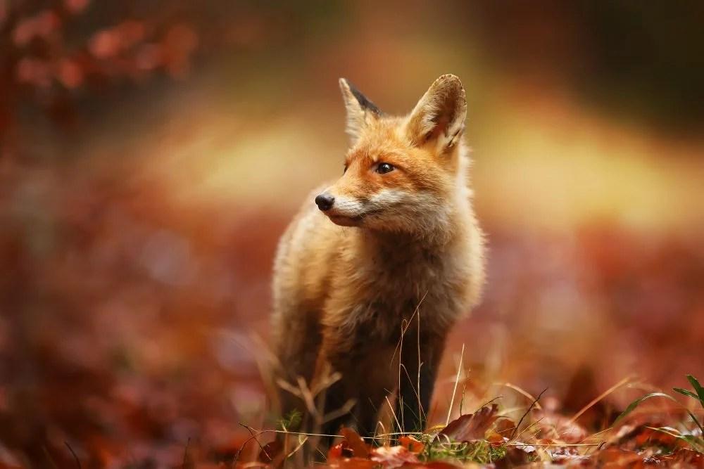 Fall Fox Wallpaper Fuchs Aktuelles In Wald Und Flur Jagdfakten 214 Sterreich