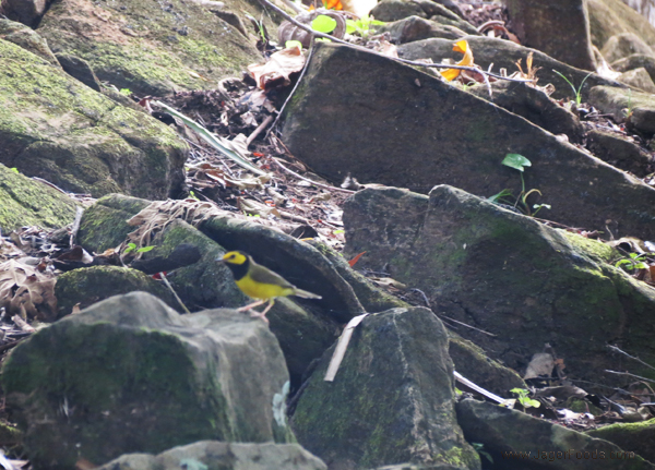 Yellow Bird at Nim Li Punit