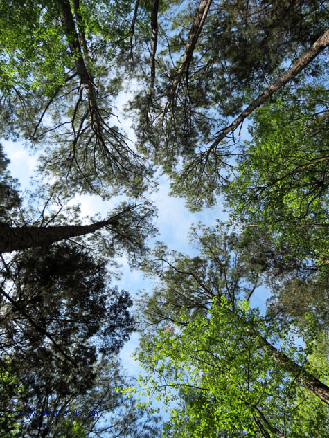 Forest Canopy at Lake Wateree state park