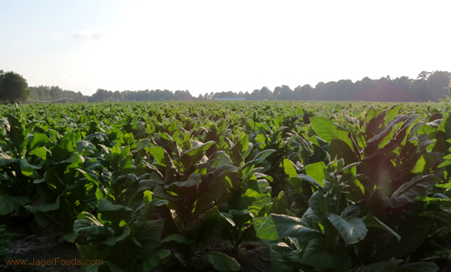 Tobacco Fields Of Old