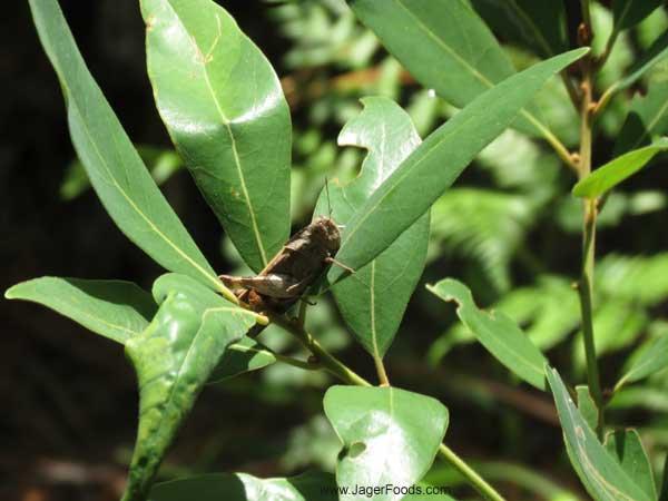 close up of a grass hopper