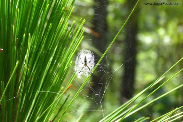 Small spider next to the Palmetto hiking trail