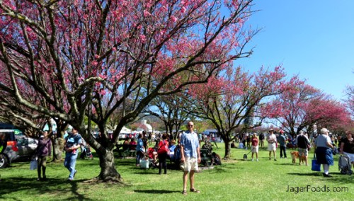 It's Cherry Blossom Time In Waimea Hawaii