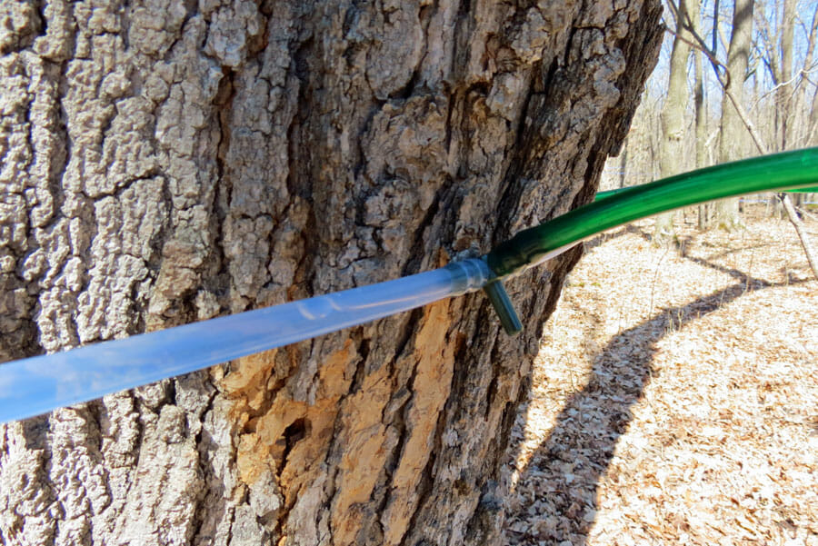 Maple tree tapped and ready