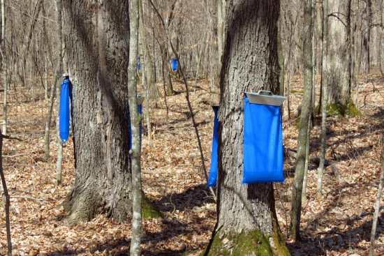 Maple sap sacks