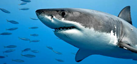 Sea Monster - Great White Shark