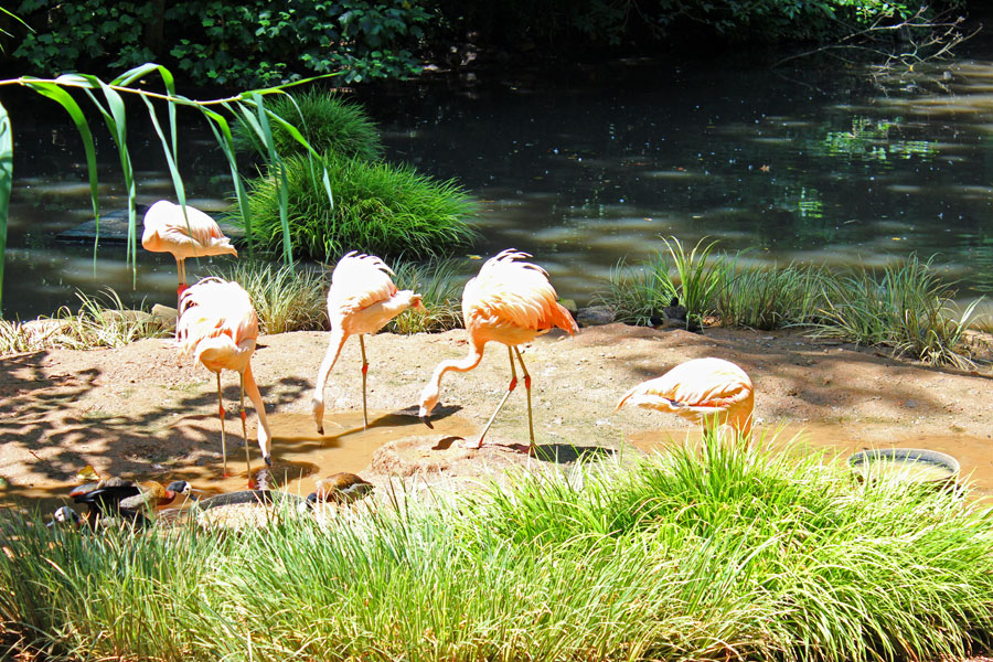 Flamigoes at Greenville SC Zoo