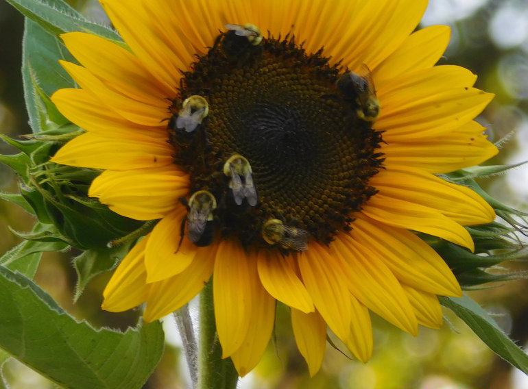 Bees on a sunflower!