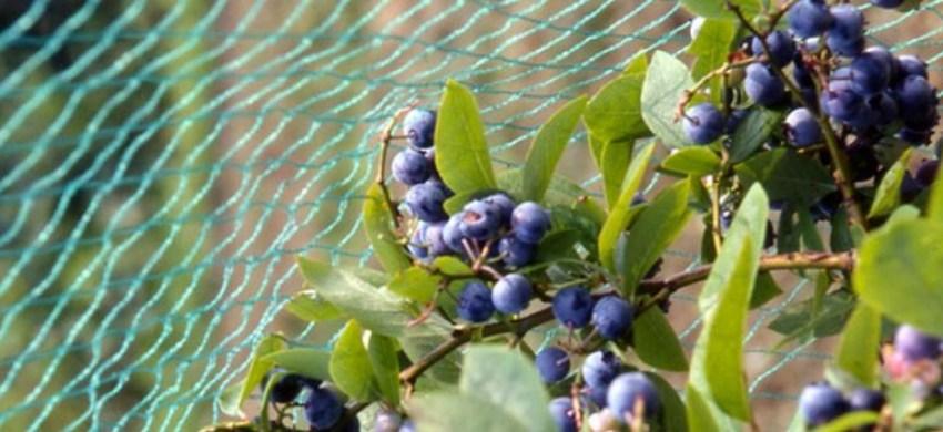 Как защитить ягоды от внешних факторов, на примере компании Arrigoni