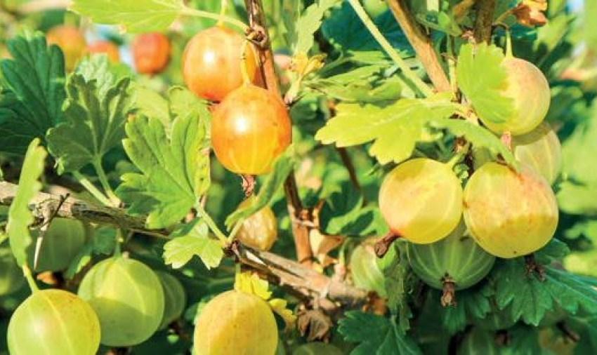 Крыжовник – ягода, которую ждут потребители