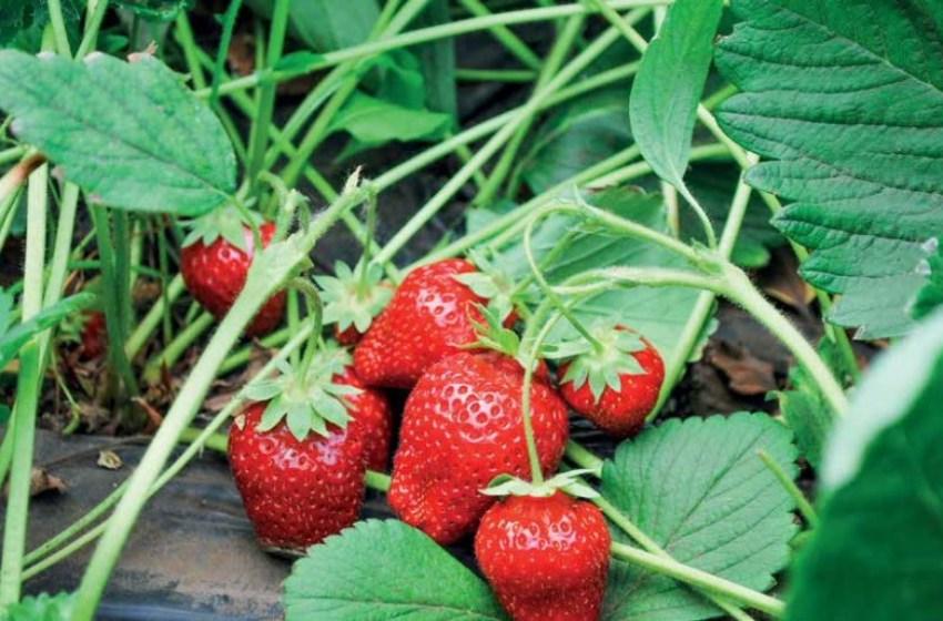 Випереджаючи час: виноград і суниці з теплиць «Агросільпрому» – перші сезонні ягоди на ринку