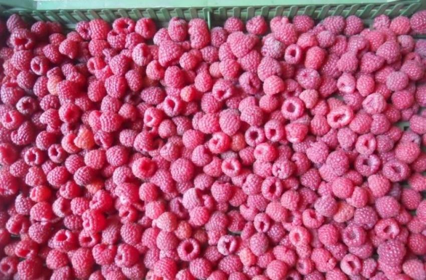У Сербії знищено 80% врожаю малини