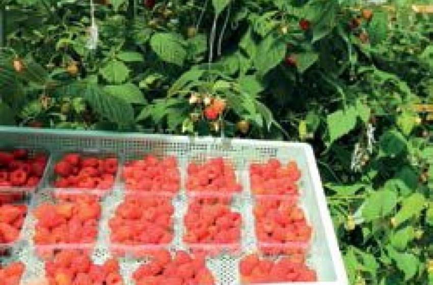 Чи є шанс на прибуткове виробництво малини?