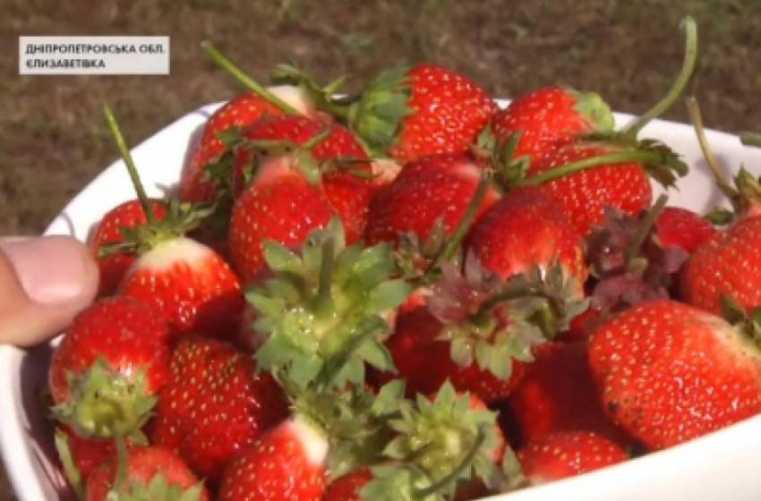 На Дніпропетровщині експериментують із суницею садовою