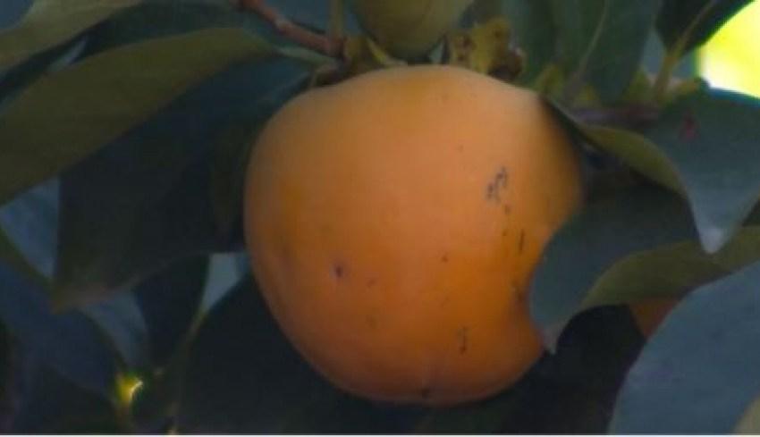В Азербайджані розпочався збір оранжевої ягоди – хурми