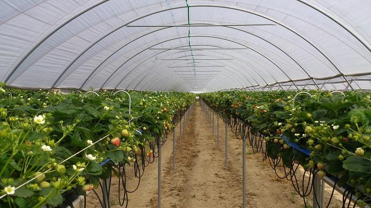 Вирощування суниці садової на грядках та в жолобах