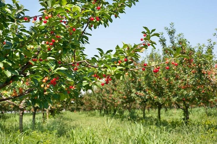 На Запоріжжі у фермера викрали черешні на півмільйона гривень