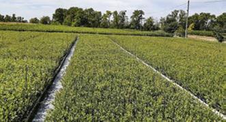 Контейнерне поле саджанців лохини (чорниці високорослої)