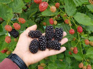 Незабаром українські виробники отримають доступ до нових сорітв ожини