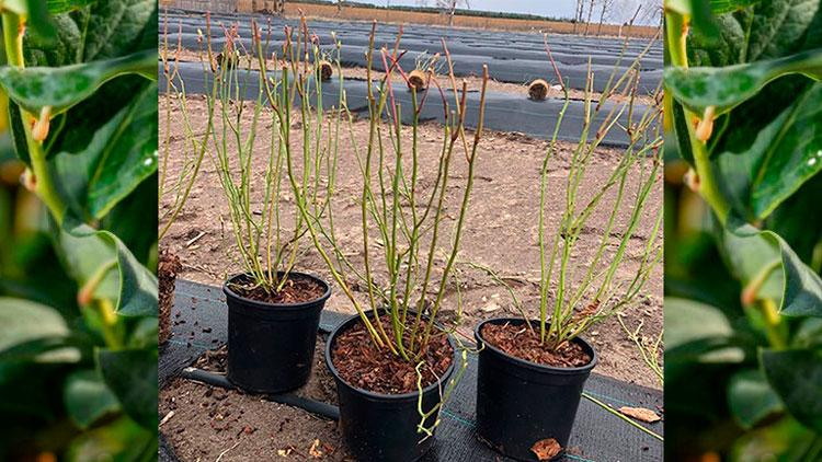 Ягідне господарство на Житомирщині висадить 6 гектарів лохини