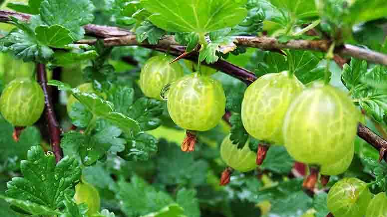 Підвищення якості ягід аґрусу. Інноваційна система вирощування – Кордон