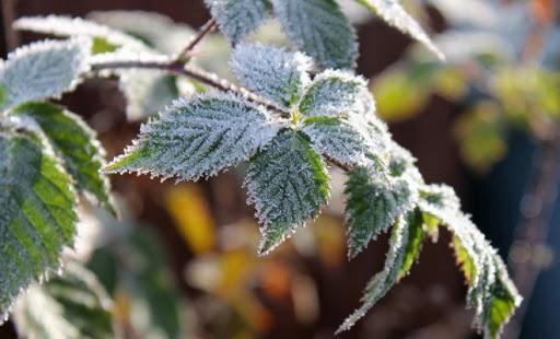 Українські ягідники втратили значну частину врожаю через заморозки