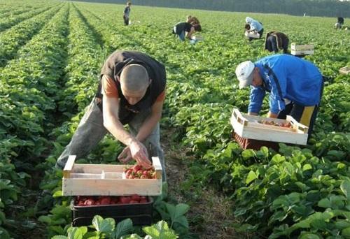 Українські сезонні робітники на Волині заробляють на зборі полуниці до 1500 грн на день