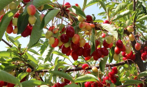 На Вінниччині фермерське господарство заснувало сад вишнечерешні