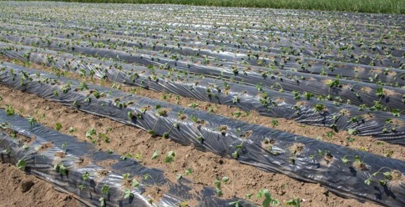 Фермер Одеської області впровадив технологію вирощування суниці «на буграх»
