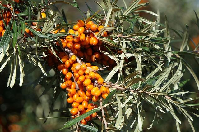 Органічна обліпиха: золоті ягоди для людини на ціну золота