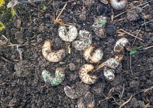 Метавайт®-Плюс проти ґрунтових шкідників у багаторічних насадженнях