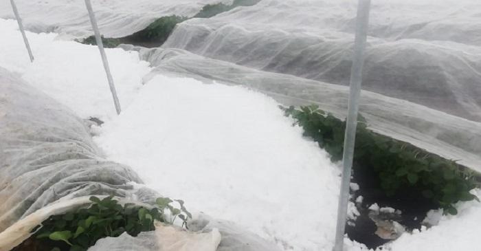 Суницю в Польщі засипало квітневим снігом