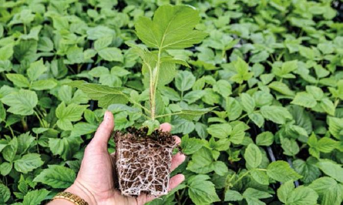 Здорові саджанці: вирощування ягідних культур у компанії «Бжезна»