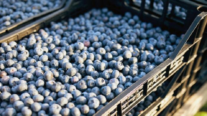 Експорт лохини з Грузії виріс на 47%
