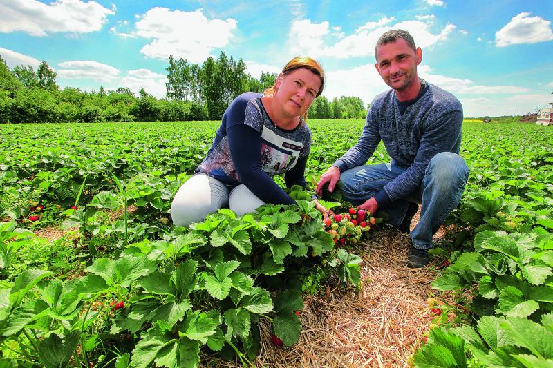 Земляника садовая: направление на диверсификацию
