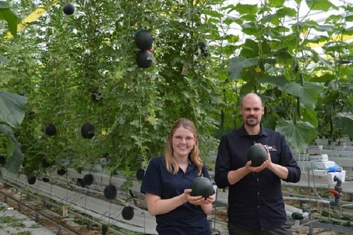 У Бельгії кавуни вирощують… на гідропоніці