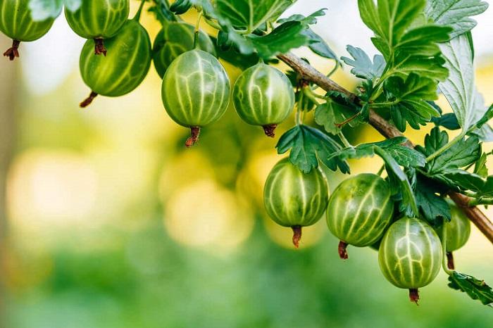 Його величність північний виноград – аґрус
