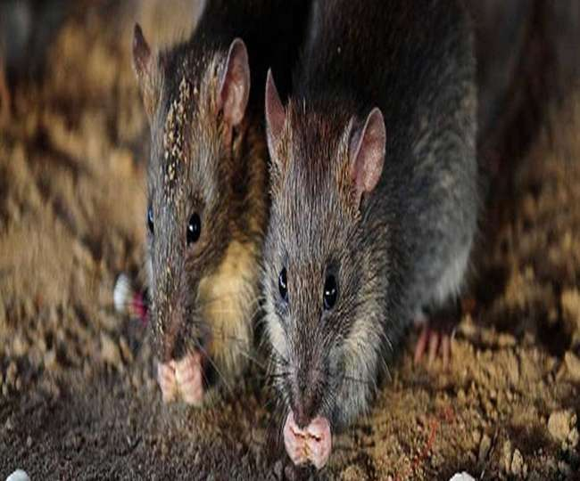 contact killer will finish rats in railway station