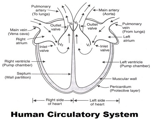 Organ Systems of Human Body