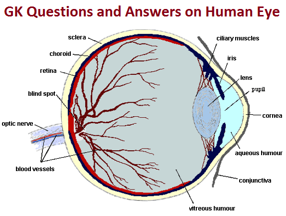 human eye diagram blind spot 2008 kia spectra radio wiring gk questions and answers on the mainly works refraction of light through a natural convex lens made up transparent living material enables us to see things