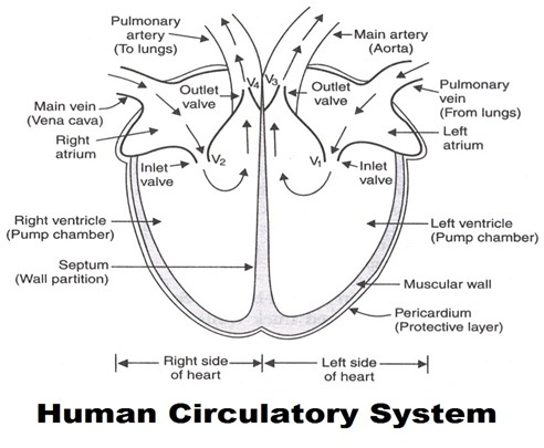 Human Circulatory system: Parts, Functions and Facts