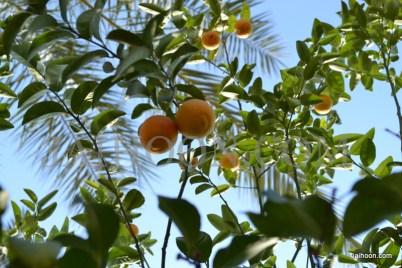 Orange tree in Jericho