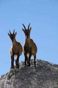 deux petits animaux de montagne