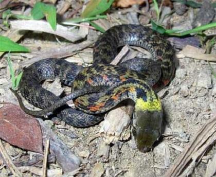 Non poisonous snakes