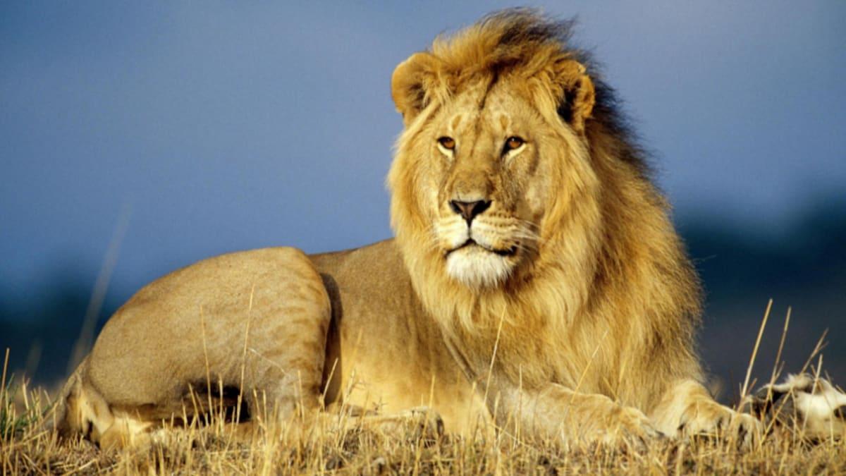 Jaipur lion test Covid positive