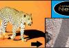Leopard In Nokh Jaisalmer