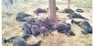 20 goats died in Jaisalmer Kohra village due to sky lightning