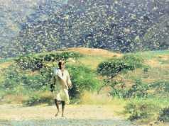 Locust Swarm Attack Jaisalmer