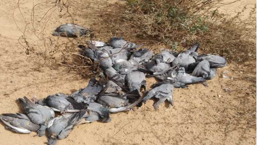 Bikaner mysterious death of 300 pigeons near Bithnok