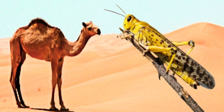 There is no locust attack in the Jaisalmer